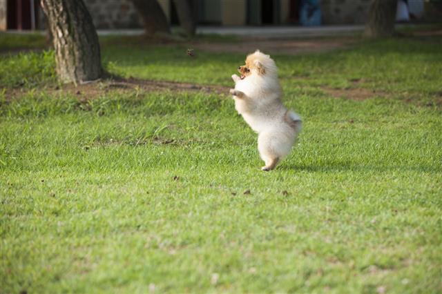 Pet Pomeranian