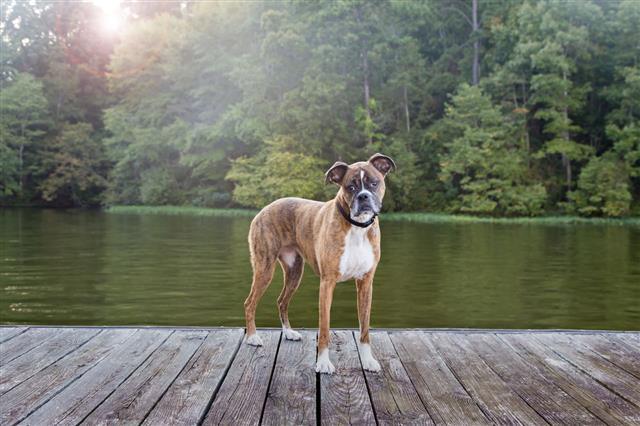 Dog On Dock At Lake