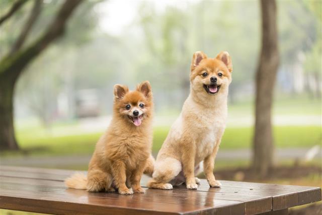 Pomeranian In A Park