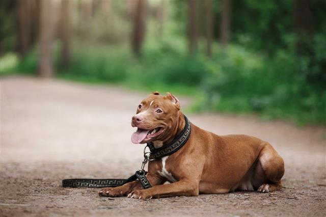 Pit Bull Terrier Dog In The Park