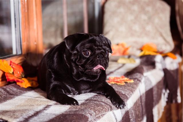 Black Pug Lying On Windowsill