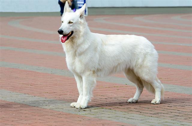White-shepherd
