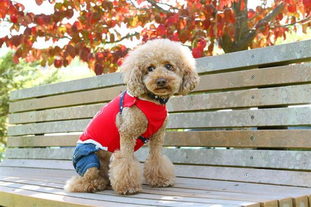 Dog Toy Poodle