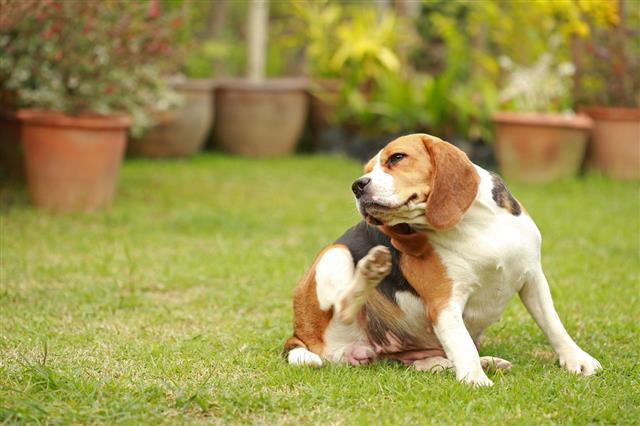 Female Beagle Dog Lying Down