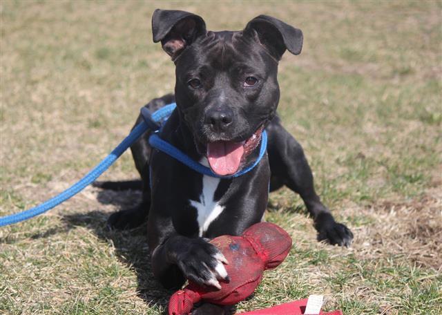 Black Pitbull Dog Playing