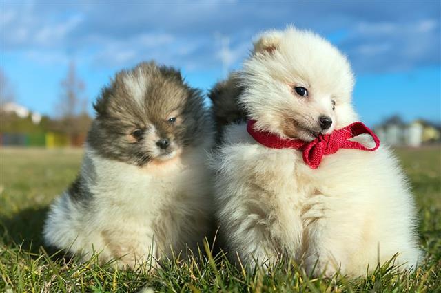 Littl Pomeranian Puppies Playing Utdoor Pomeranian Spitz Dog