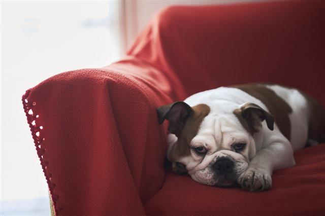 Bulldog Resting On Red Sofa