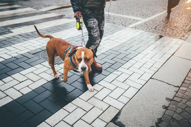 Man Walking With Pit Bull Dog