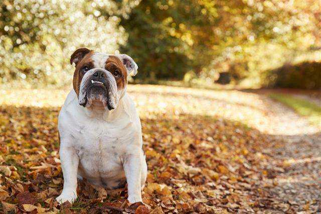 British Bulldog Sitting By Path