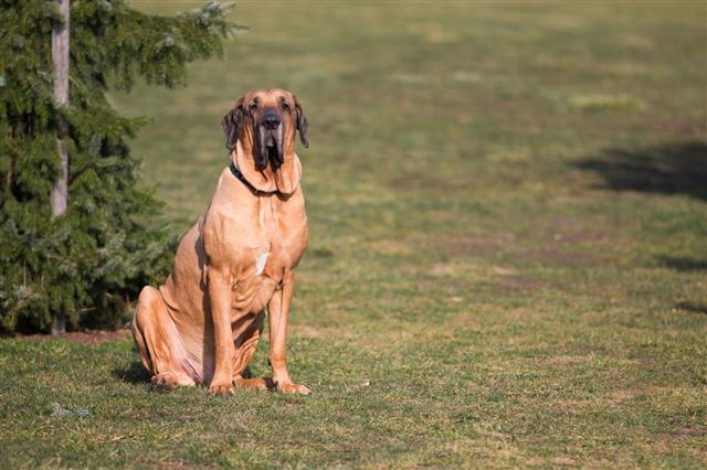 Brazilian Mastiff In Park
