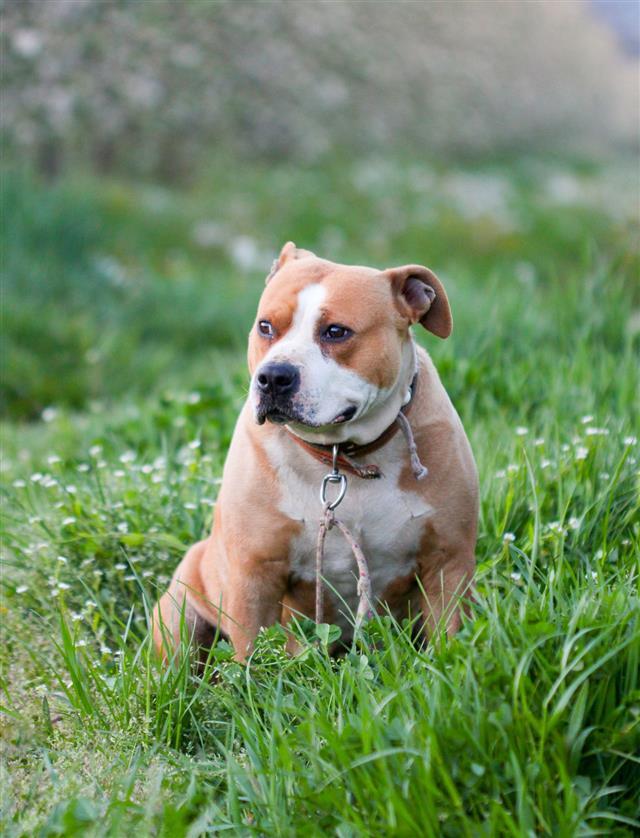 Female Amstaff Dog