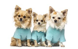 Three Chihuahuas Dressed