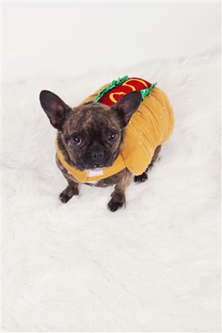 Hotdog Dog