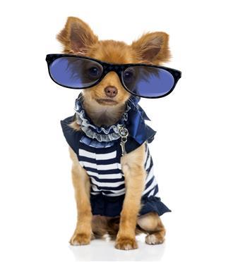 Chihuahua Wearing Glasses