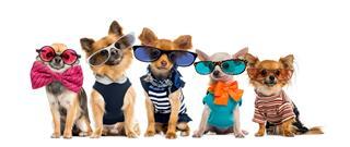 Chihuahuas Dressed Wearing Glasses