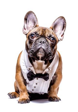 Smart French Bulldog