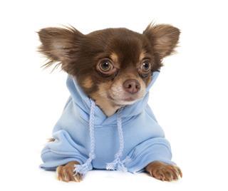 Dressed Longhair Chihuahua