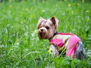 Pedigreed Dog Yorkshire Terrier