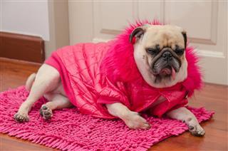 Pug Dog With Fashion Pink Dress
