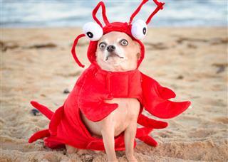 Lobster Chihuahua