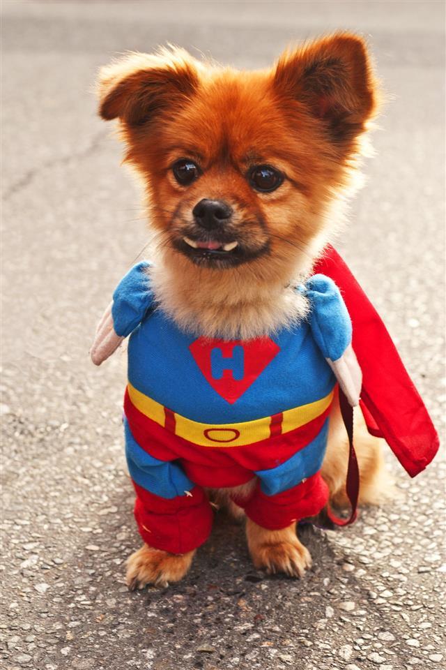 Heroic Pomeranian