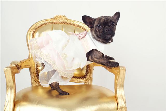 Dog With A Wedding Dress