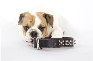 Bulldog And Collar