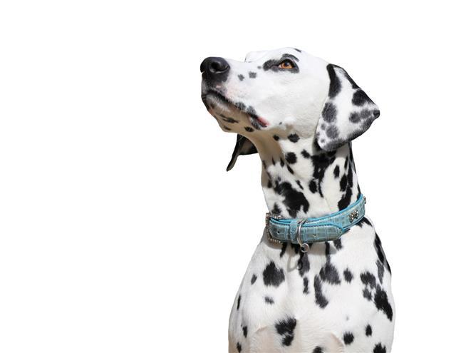 Dalmatian Isolated Against White Background