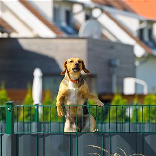 Dog Climbs Over Fence