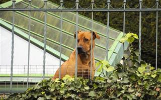 Rhodesian Guard Dog