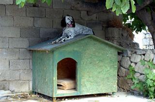 Dalmatian Dog Resting