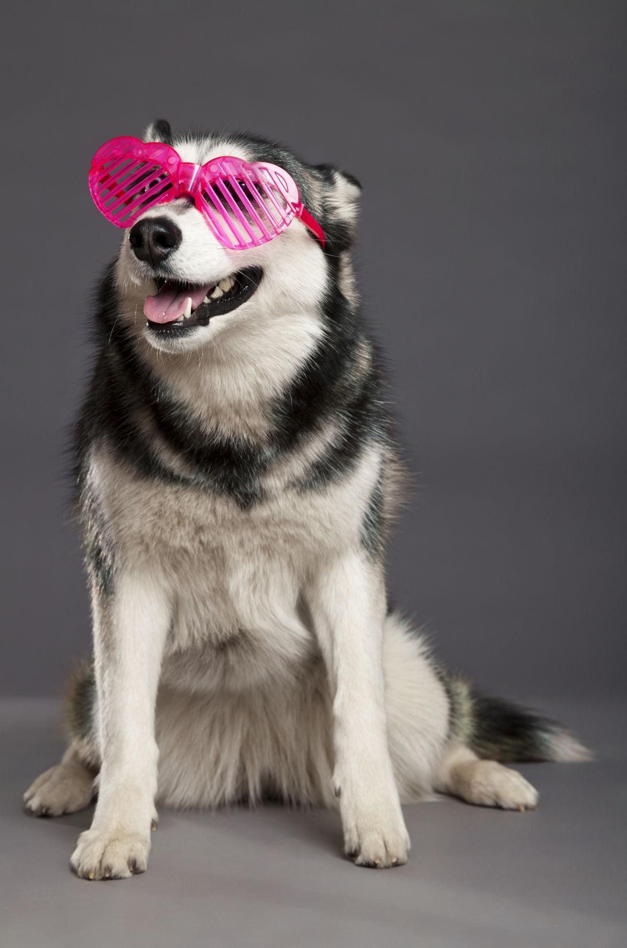 Unimaginably Stupefying Facts About The Alaskan Husky