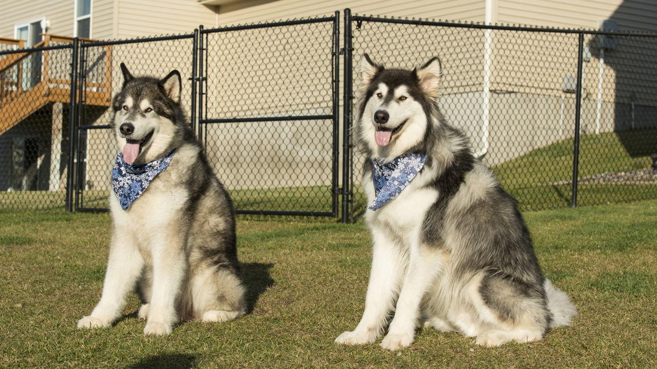 Alaskan Husky Vs Siberian Husky Which One Is Better For You
