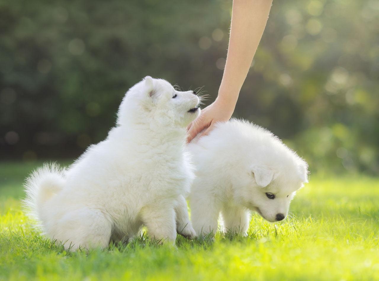 Small Fluffy Swedish Dogs