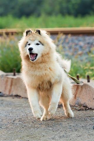 Alaskan Malamute Siberian Husky