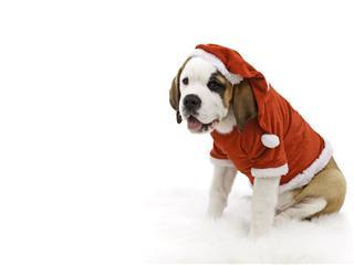 Christmas St Bernard Puppy