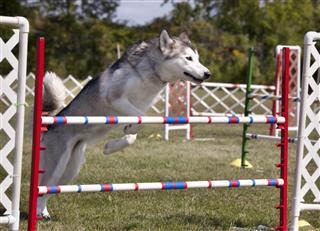 Alaskan Malamute Agility Dog