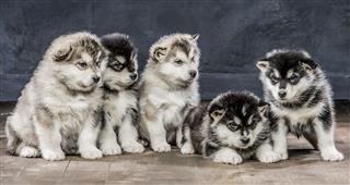 Portrait Of Alaskan Malamute Puppys