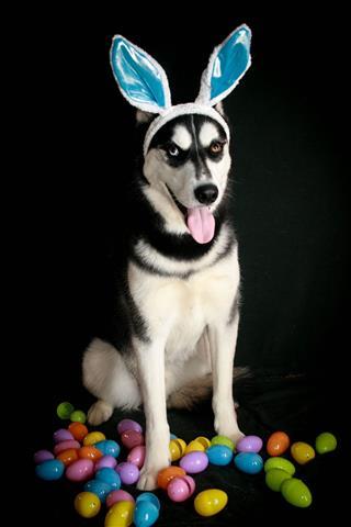 Siberian Husky Easter Bunny