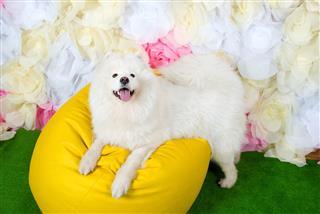 White Dog Samoyed Laying On Chair