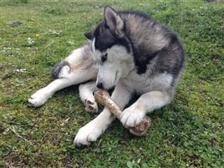 Siberian Husky Holding Bone