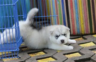 Husky Lazy