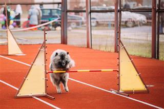 Keeshond Dog Playing
