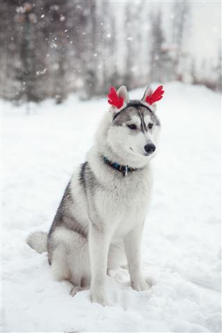 Christmas Siberian Husky Puppy