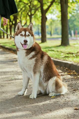 Portrait Husky Dog With A Smile