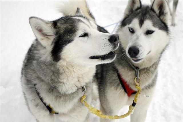 Husky Dogs While Sledding On Snow
