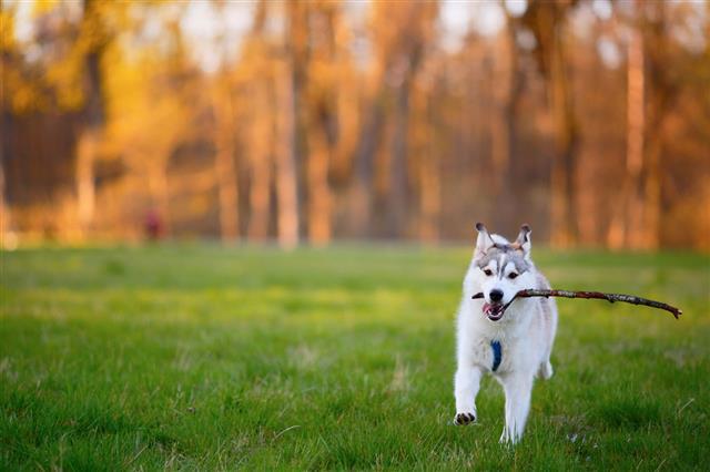 Husky Runs With A Wooden Stick