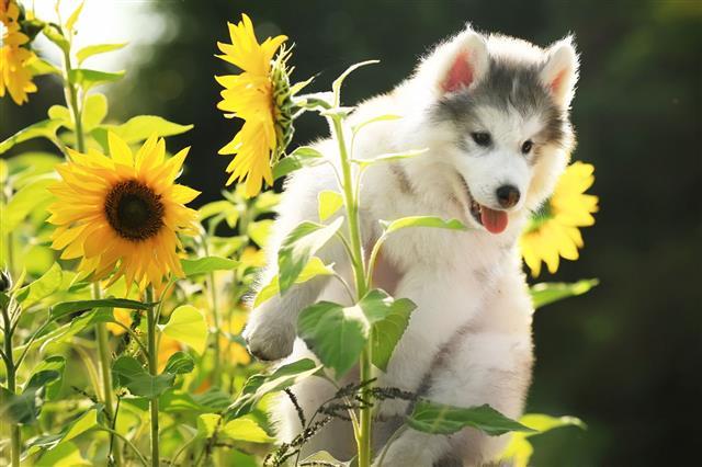 Fluffy Malamute Puppy Among Sunflowers