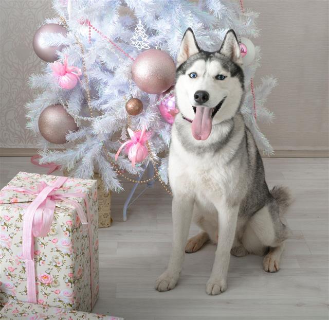 Husky Gives A Gift For Christmas
