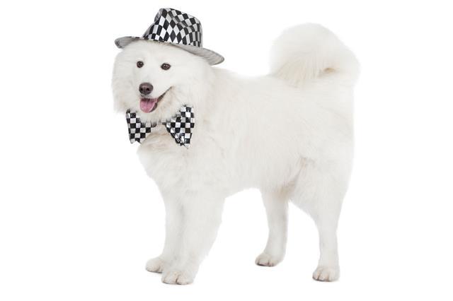 Samoyed Dog Isolated On White
